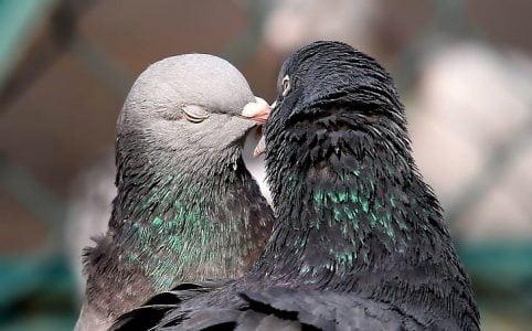 Parforhold, duer der kysser